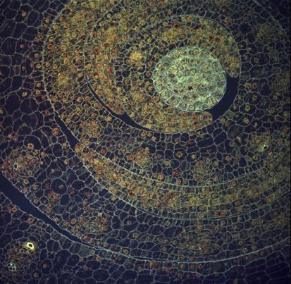 Dettagli di una foglia di mais al microscopio.