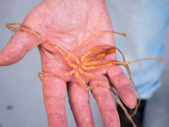Giant sea-spider