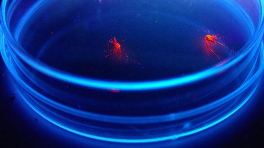 Zanzare fluorescenti alla Federico II
