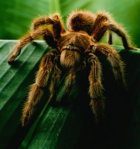 Tarantula (Grammostola spatulata) on leaf, close-up